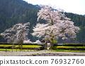 cherry blossom, cherry tree, chinese-style gate 76932760