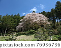 Ikko櫻桃樹 76936736
