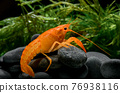 live baby orange crayfish with rock and water weed. 76938116