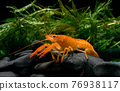 live baby orange crayfish with rock and water weed. 76938117