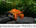 live baby orange crayfish with rock and water weed. 76938118