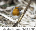 European robin or Erithacus rubecula, known simply as robin redbreast. Colorful bird stares in carema with curiosity. Wildlife outdoors. 76943205