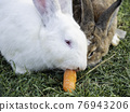 Pair of rabbits eat fresh tasty carrot. White and brown fluffy farm animals on green grass. Domestic mammals graze outdoors on lawn. 76943206