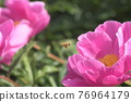 chinese peony, bloom, blossom 76964179