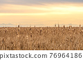 Dry Cattail or Typha field in sunset time. Bulrush or Reedmace or Reed or Corn dog grass or Swamp sausage or Water sausage aquatic rhizomatous herbaceous perennial plant. 76964186