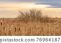 Dry Cattail or Typha field in sunset time. Bulrush or Reedmace or Reed or Corn dog grass or Swamp sausage or Water sausage aquatic rhizomatous herbaceous perennial plant. 76964187