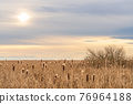 Dry Cattail or Typha field in sunset time. Bulrush or Reedmace or Reed or Corn dog grass or Swamp sausage or Water sausage aquatic rhizomatous herbaceous perennial plant. 76964188