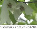 handkerchief tree, botanic, ofuna botanical garden 76964286