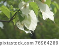 dogwood, cornaceae, bloom 76964289