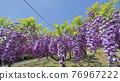 紫藤 花朵 花 76967222