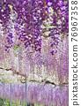 紫藤 花朵 花 76967358