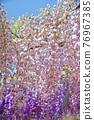 紫藤 花朵 花 76967385