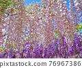 紫藤 花朵 花 76967386