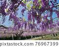 紫藤 花朵 花 76967399