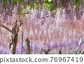 紫藤 花朵 花 76967419