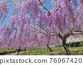 紫藤 花朵 花 76967420