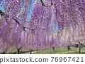 紫藤 花朵 花 76967421