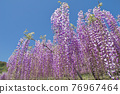 紫藤 花朵 花 76967464