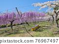 紫藤 花朵 花 76967497