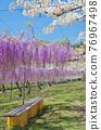 紫藤 花朵 花 76967498