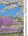 紫藤 花朵 花 76967502