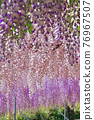 紫藤 花朵 花 76967507