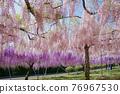 紫藤 花朵 花 76967530