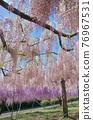 紫藤 花朵 花 76967531