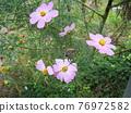 蜘蛛 大波斯菊 花朵 76972582