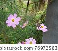 蜘蛛 大波斯菊 花朵 76972583