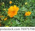 大波斯菊 花朵 花 76975798