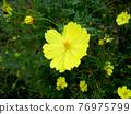 黃色波斯菊花 76975799