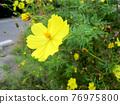 黃色波斯菊花 76975800