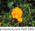 橙色波斯菊 76975801