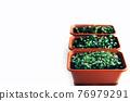Tray of fresh green microgreens. Home gardening. 76979291