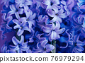 Close up of purple flower hyacinth with selective focus, on lilac background. 76979294