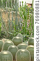 Vertical green plant cactus natural decoration in the greenhouse 76980881
