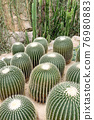 Vertical green plant cactus natural decoration in the greenhouse 76980883