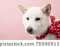 dog, dogs, Shiba 76990913