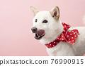 dog, dogs, Shiba 76990915
