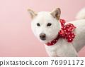 dog, dogs, Shiba 76991172