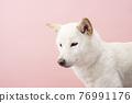 dog, dogs, Shiba 76991176