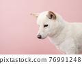 dog, dogs, Shiba 76991248