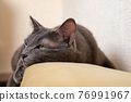 Close-up of a gray cat lying on the back of a sofa 76991967