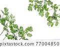 cilantro, coriander, chinese parsley 77004850