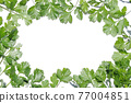 cilantro, foliage, leaf 77004851
