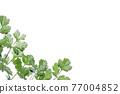 cilantro, coriander, chinese parsley 77004852
