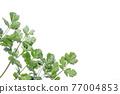 cilantro, coriander, chinese parsley 77004853