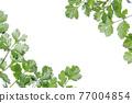 cilantro, foliage, leaf 77004854