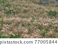 Some of the reed flowers sway with the wind. Various plant species and natural landscapes. Wuling Farm in winter, Taiwan. December 2020. 77005844